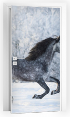 Naklejka na drzwi - Purebred horse galloping across a winter snowy meadow