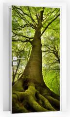 Naklejka na drzwi - Old Beech Tree
