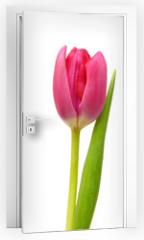 Naklejka na drzwi - Purple tulips isolated on a pure white background