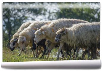 Fototapeta - a sheep herd closeup on a meadow