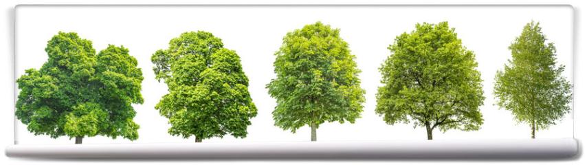 Fototapeta - Set trees maple, oak, birch, chestnut. Isolated objects