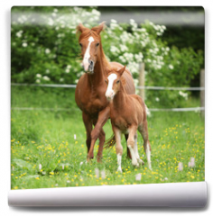 Fototapeta - Beautiful mare running with foal
