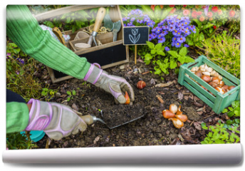 Fototapeta - The gardener planted bulbs of flowers to the ground. Work in the garden.