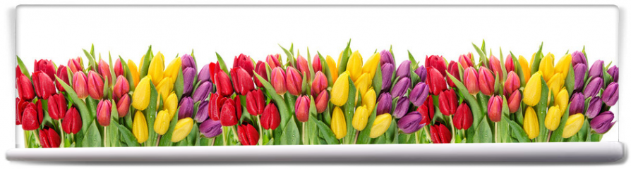 Fototapeta - Fresh spring tulip flowers water drops Floral banner