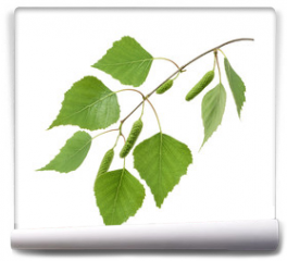 Fototapeta - Birch leaves isolated. without shadow