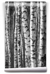 Fototapeta - Birch tree trunks - black and white natural background