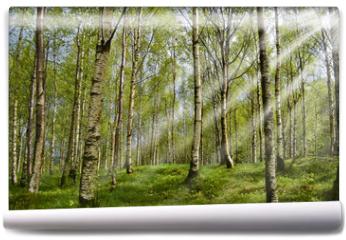 Fototapeta - Sonnenstrahlen im Birkenwald