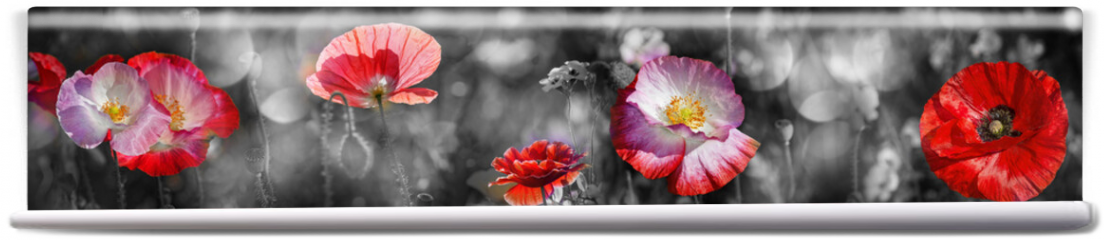 Fototapeta - summer meadow with red poppy