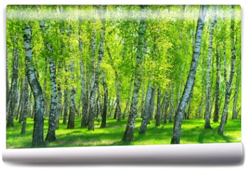 Fototapeta - birch grove on a sunny day