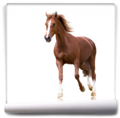 Fototapeta - red horse with the three white legs and white line on the face isolated on white background runs