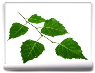 Fototapeta - Green twig of a birch on a white background