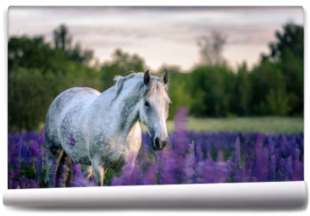 Fototapeta - Portrait of a grey horse among lupine flowers.