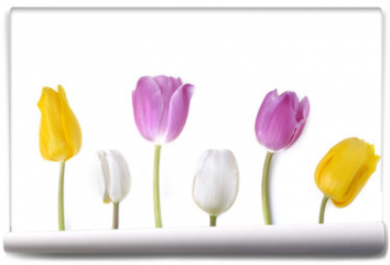 Fototapeta - colorful and pretty tulips standing  on white background