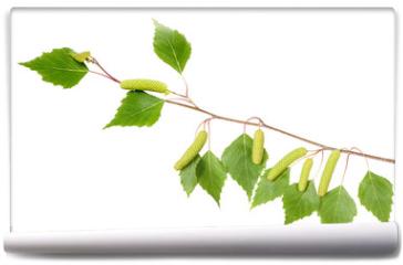 Fototapeta - Birch branch with aments