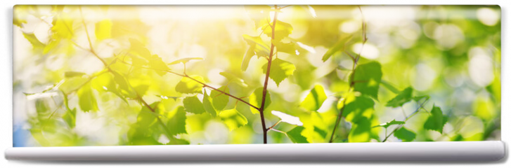 Fototapeta - New birch leaves on green spring background. Fresh foliage in the forest in nature with beautiful sunlight