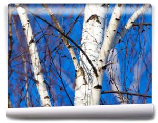 Fototapeta - Trunk of a birch against a blue sky