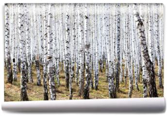 Fototapeta - Spring in the birch forest