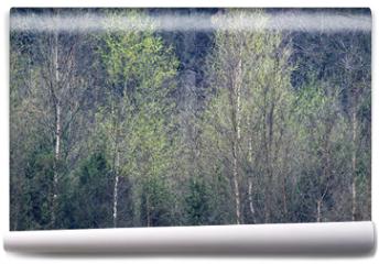 Fototapeta - Row of birch trees with fresh leaves in springtime.