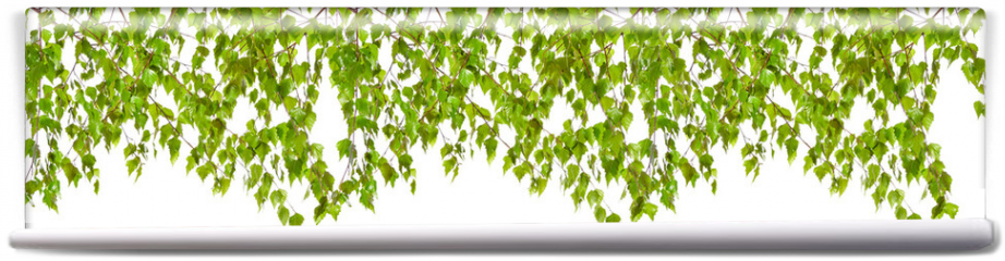 Fototapeta -  Decoration of birch twigs with leaves in a row on a white background.