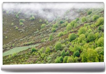 Fototapeta - Paisaje de montaña con abedules y brezos en primavera. Betula pubescens, alba. Comarca de Laciana, León, España.