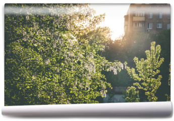 Fototapeta - Blooming birch tree in the spring park at the sunset