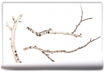 Fototapeta - Birch branches isolated on white background. Natural decoration elements.