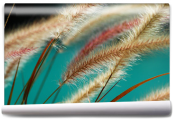 Fototapeta - fuzzy fountain grass