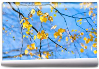 Fototapeta - Yellow birch leaves on blue sky background. Autumn fall