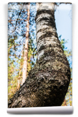 Fototapeta - birch in a summer deciduous forest. Trees and shrubs