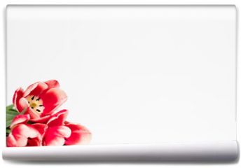 Fototapeta - red tulips on white background. flora botany and spring. beautiful flower assortment on mothers or womens day. free space concept.