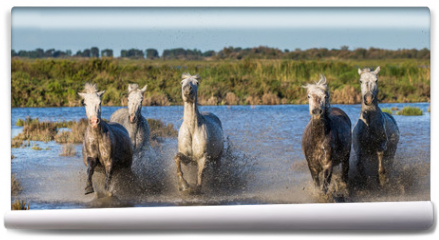 Fototapeta - White Camargue Horses are runing in the swamps of nature reserve. Parc Regional de Camargue. France. Provence.