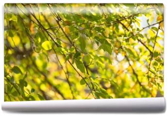 Fototapeta - Autumn Birch Leaves on the Branches