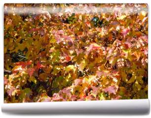Fototapeta - birch leafs at autumn