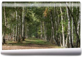 Fototapeta - Birkenallee beim Pietzmoor in der Lüneburger Heide