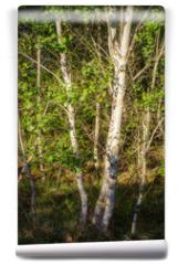 Fototapeta - birch at woodland