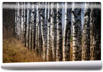 Fototapeta - trunks of birch trees