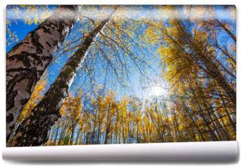 Fototapeta - Autumn birch grove. Western Siberia