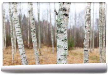 Fototapeta - Birch forest landscape in Finland at autumn