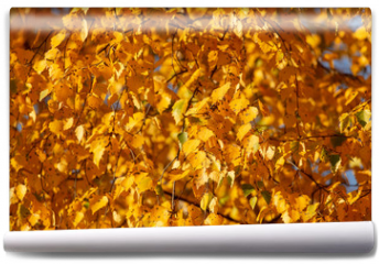 Fototapeta - Birches in the forest in autumn as a background