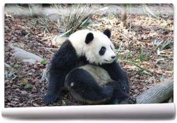 Fototapeta - Panda is Posing Funny, Panda Valley, China