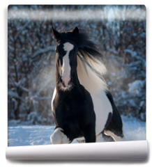 Fototapeta - black and white paint irish cob or tinker runs free in winter meadow portrait