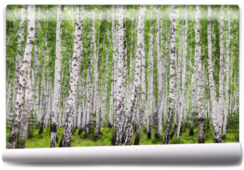 Fototapeta - Image with birch forest.