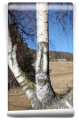 Fototapeta - birch with the trunk of the characteristic white color and the b
