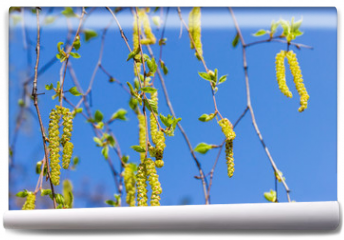 Fototapeta - Birch branches with young leaves and catkins against of sky