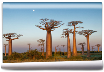 Fototapeta - Field of Baobabs
