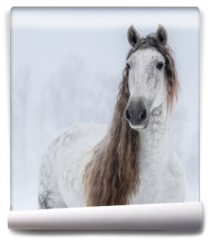 Fototapeta - Grey Pure Spanish Horse with long mane.