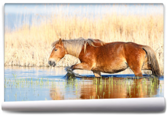 Fototapeta - Sorrel mare is walking through the water