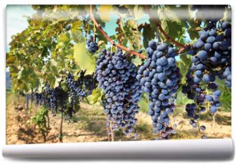 Fototapeta - tuscany wine grapes