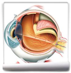 Fototapeta - Anatomy of the eye