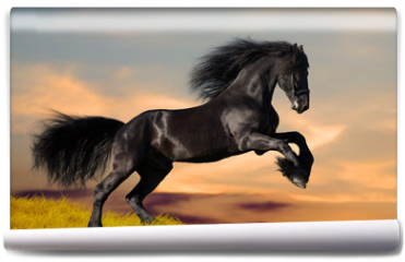 Fototapeta - Black Friesian horse gallops in sunset